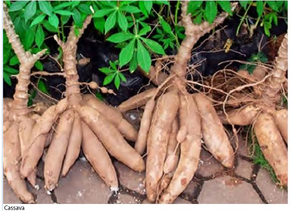 HOMEF,  others object to GM cassava application
